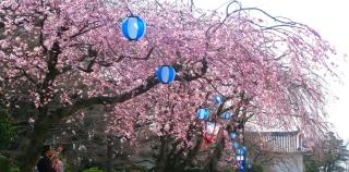 Fête des cerisiers, hanami au japon